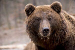 Leçons tirées du microbiome intestinal des ours bruns en hibernation